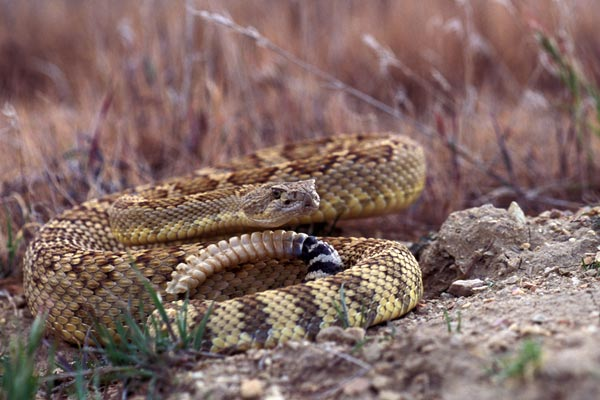 rattler_coiled_2